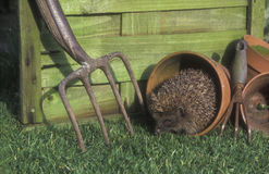 Hedgehog, Erinaceus europaeus Royalty Free Stock Images