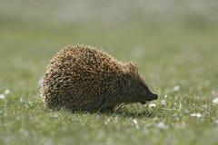 Hedgehog, Erinaceus europaeus. Single mammal on grass, Scotland Stock Image