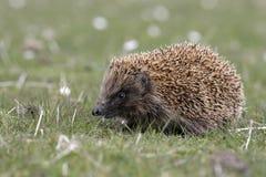 Hedgehog, Erinaceus europaeus. Single mammal on grass, Scotland Stock Photos