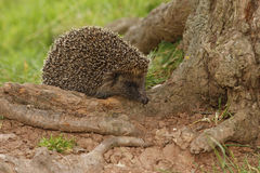 Hedgehog, Erinaceus europaeus stock image