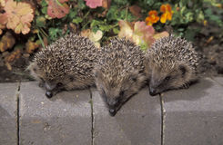 Hedgehog, Erinaceus europaeus Royalty Free Stock Image