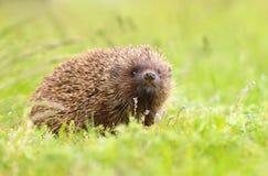 Hedgehog Erinaceus roumanicus royalty free stock image