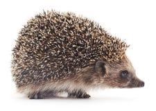 Hedgehog espinhoso Fotografia de Stock Royalty Free