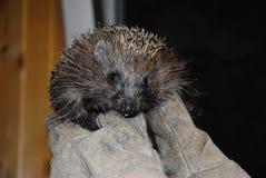 Hedgehog Stock Image