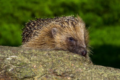 Hedgehog Stock Photography