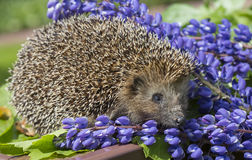 Hedgehog. The European hedgehog is one of the most common species of hedgehogs. Hedgehogs are nocturnal animals and is the single leading secretive lifestyles Stock Photos