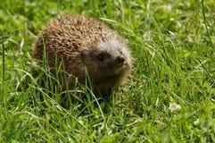 Hedgehog europeu Imagem de Stock Royalty Free