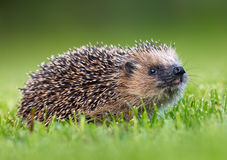 Hedgehog europeu ocidental (europaeus do Erinaceus) Foto de Stock Royalty Free