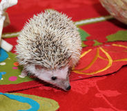 Hedgehog exploring dining table Royalty Free Stock Image