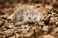 Hedgehog in the fallen leaves Royalty Free Stock Images