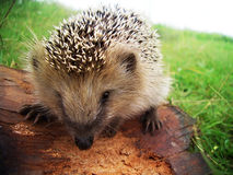 Hedgehog on a field Stock Photo