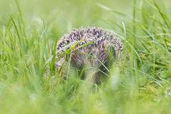 Hedgehog in a field Stock Photo