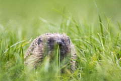 Hedgehog in a field Stock Image
