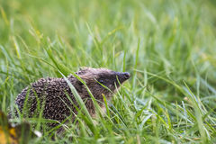 Hedgehog in a field Royalty Free Stock Image