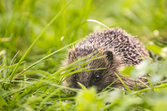 Hedgehog in a field Royalty Free Stock Photography