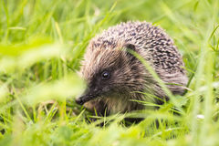 Hedgehog in a field Stock Photography