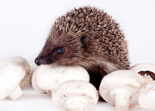 Hedgehog and field mushrooms Stock Photography