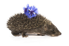 Hedgehog with flower Stock Photos