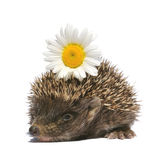 Hedgehog with flower Stock Images