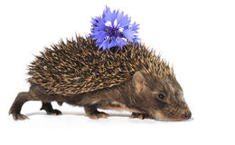 Hedgehog with flower Stock Image