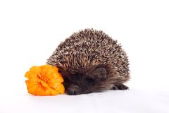 Hedgehog with flower Royalty Free Stock Photos