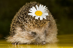 Hedgehog with flower Royalty Free Stock Images