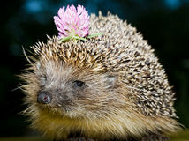 Hedgehog with flower Stock Photos