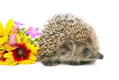 Hedgehog with flowers Stock Photography