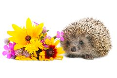 Hedgehog with flowers Royalty Free Stock Photo