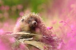 Hedgehog in flowers stock photo