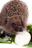 Hedgehog, flowers and field mushrooms Royalty Free Stock Image