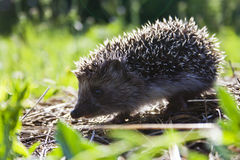 Hedgehog in the forest Stock Photo