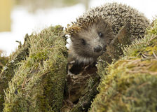Hedgehog in the forest looking at the camera Royalty Free Stock Images