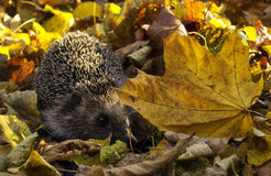 Hedgehog in the forest Stock Images