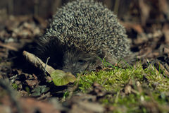 Hedgehog in the forest Stock Photos