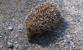 Hedgehog Stock Photos
