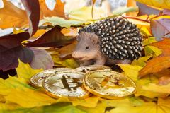 Bitcoin golden coins and hedgehog in colorful autumn leaves. Stock Images