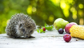 Hedgehog among fruits Stock Photos