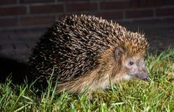 Hedgehog in garden Stock Photo