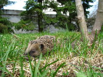 Hedgehog in garden. Small hedgehog in garden Stock Photography