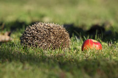 Hedgehog in the garden Royalty Free Stock Photography