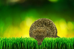 Hedgehog on the garden grass Royalty Free Stock Photos