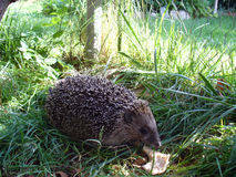 A hedgehog in the garden Stock Images