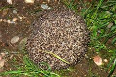 Hedgehog in garden 3. Hedgehog in the garden in mid spring. Image enchanting beauty of nature Stock Photos