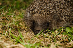 Hedgehog in the garden. At night Royalty Free Stock Photo