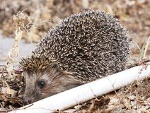 Hedgehog in a garden Royalty Free Stock Image