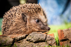 Hedgehog. In the garden sitting on wood and sniffing Royalty Free Stock Photo
