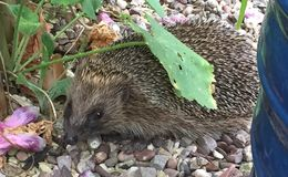 Hedgehog in a garden by a tub. Hedgehog on some gravel in a garden Royalty Free Stock Photos