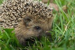 Hedgehog in the garden Stock Photography