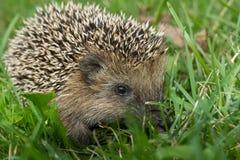 Hedgehog in the garden Royalty Free Stock Photos